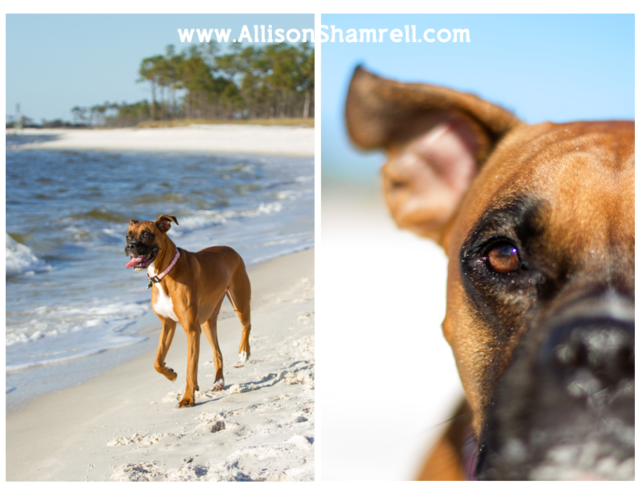 A boxer dog runs along beautiful Pensacola Beach, and a close-up of her eye.