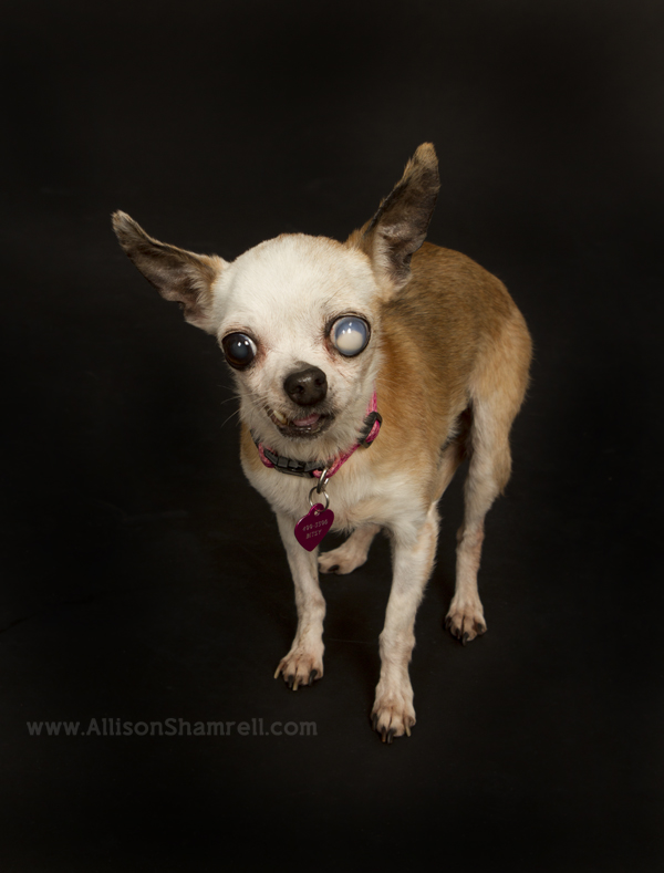 A chihuahua with a cataract in her eye poses for a photo in the studio.