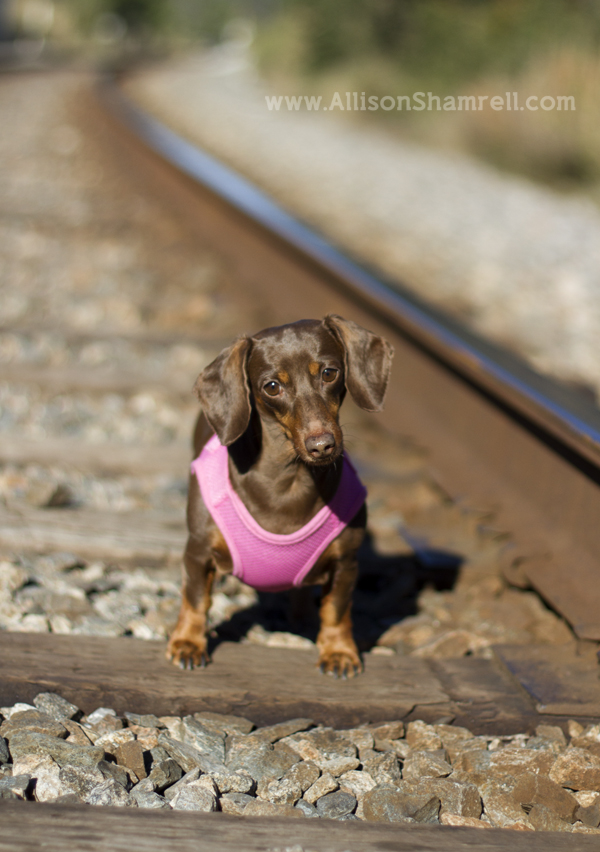 A female doxie poses for a photo on railroad tracks in Pensacola.