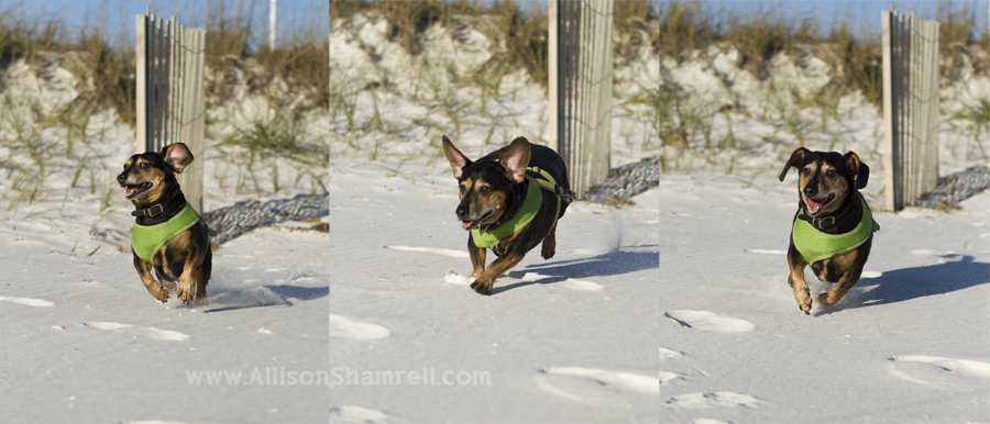A doxie dog runs across the sand, ears flying.