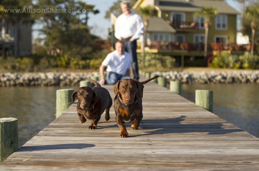 Two doxies run down a dock in Florida, in front of their owners and their house.
