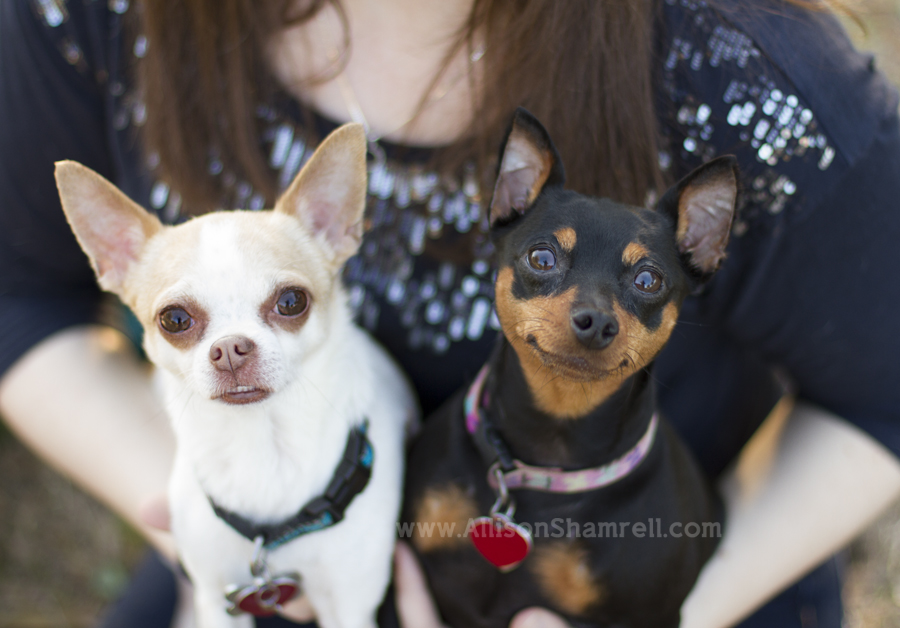 A chihuahua and a miniature pinscher dog look up at the camera from being in their owner's arms.
