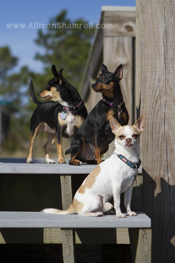 A miniature pinscher, a chihuahua, and their baby mix sit on a beach boardwalk.
