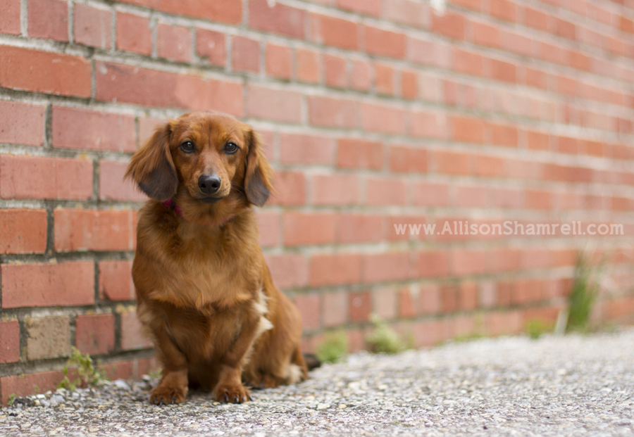 A beautiful longhaired dachshund poses against an old brick wall.