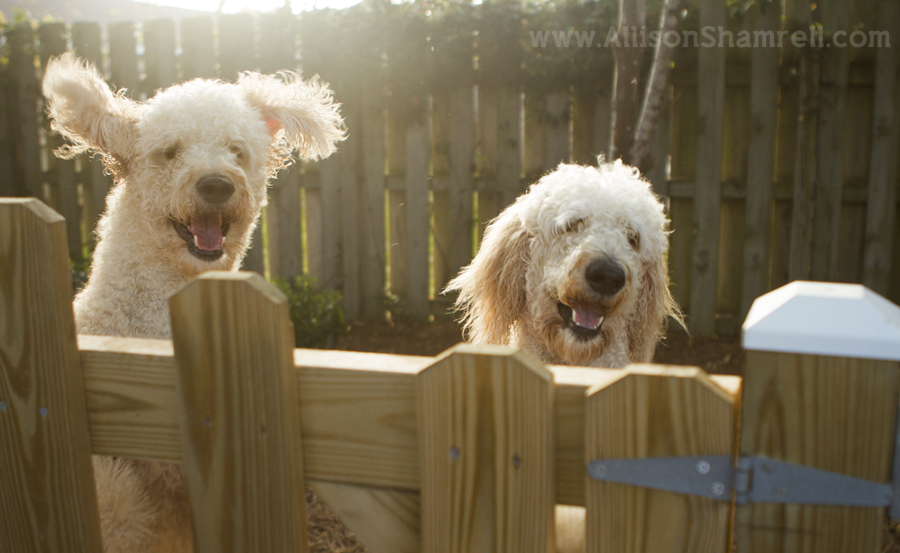 goldendoodles jumping behind a fence