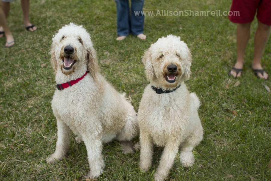 goldendoodles with their family's feet