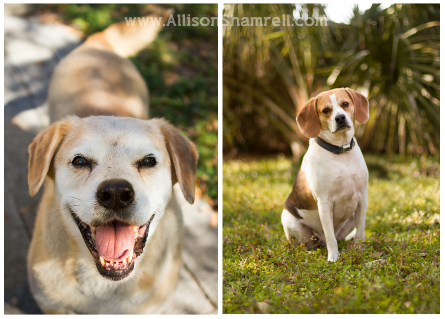 old yellow labrador and cute beagle