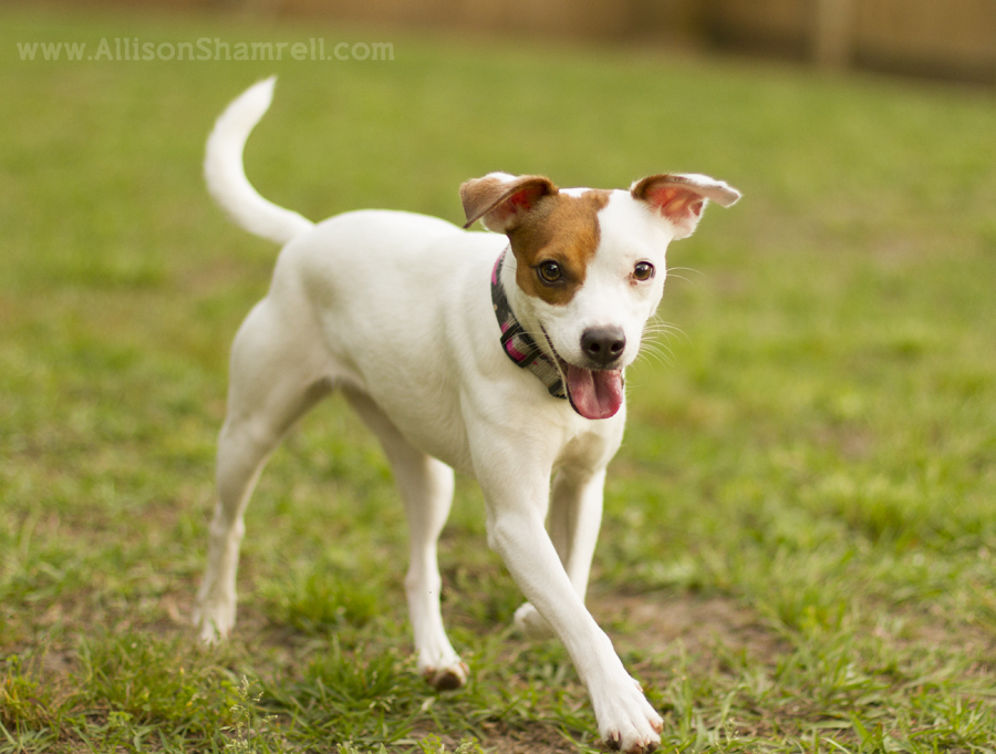 Rat Terrier Puppy Photography Eve San Diego Pet Photographer