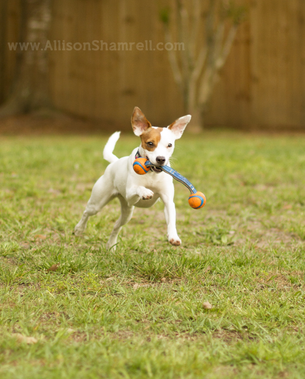 rat terrier running