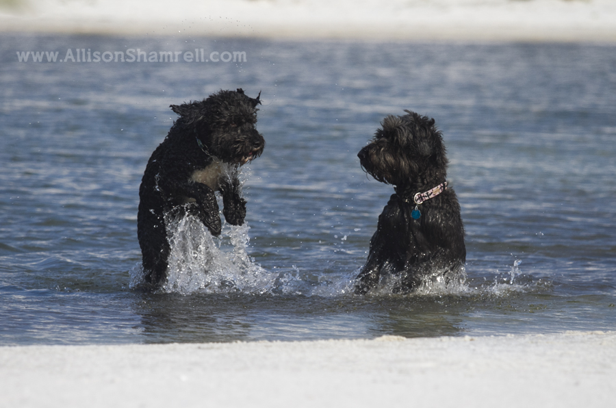 dogs jumping through water