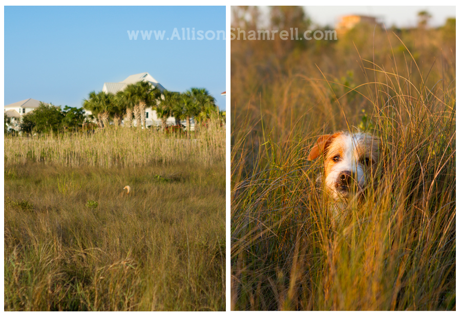 a dog in tall beach grasses