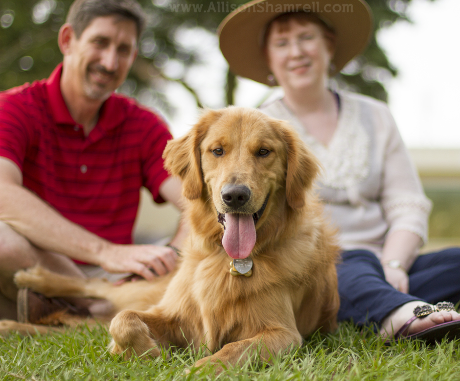 handsome golden retriever with parents