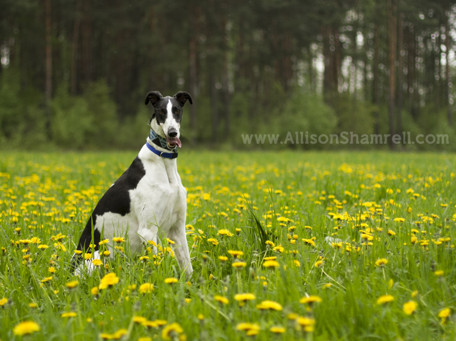 irish greyhound in Germany