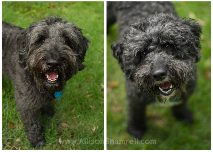 standard schnoodle dogs