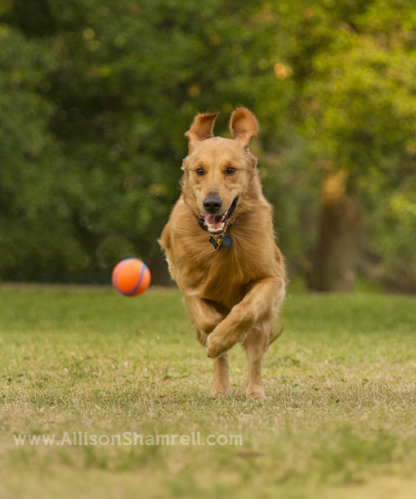golden retriever chasing ball