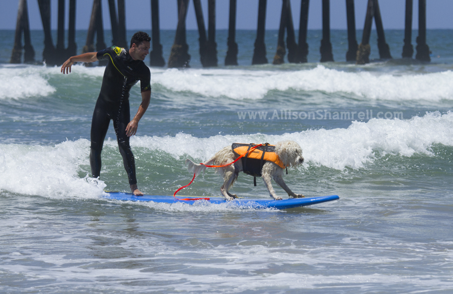 dogs people surfing together