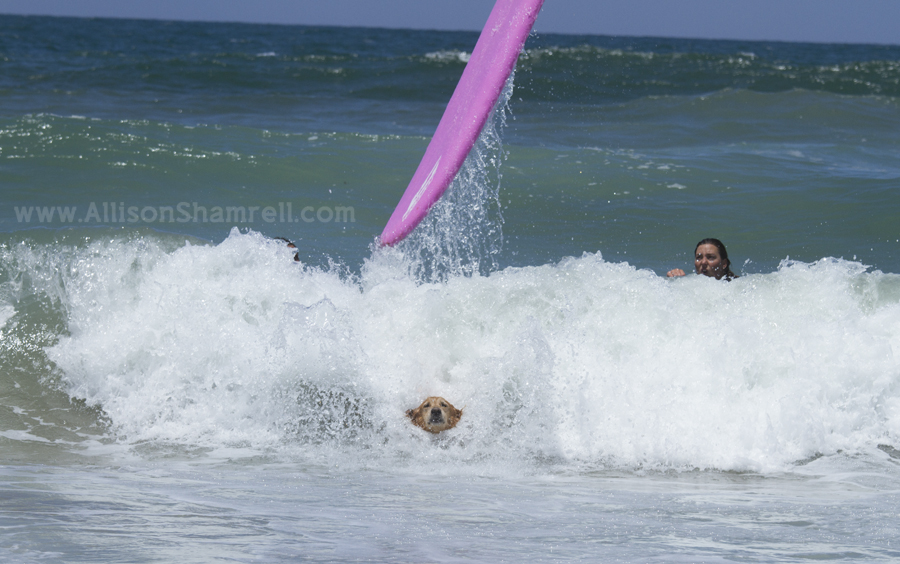 huge wipeout dog surfing