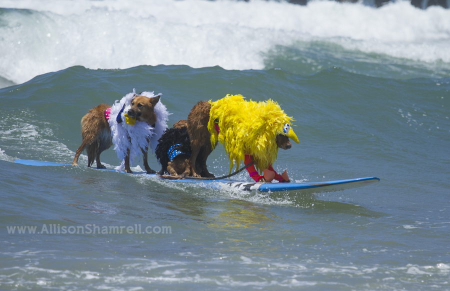 costumed surfing dogs