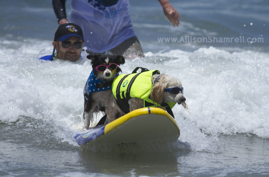 doggles surfing dogs