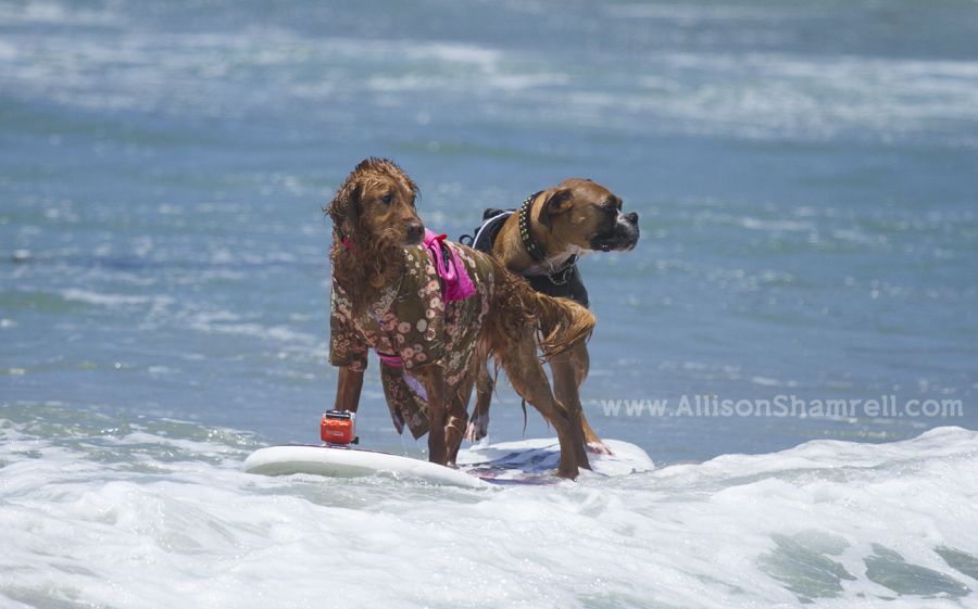 two surfing dogs together