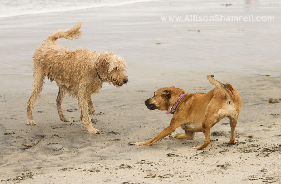 beach dogs playing