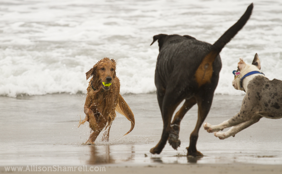 dogs playing beach