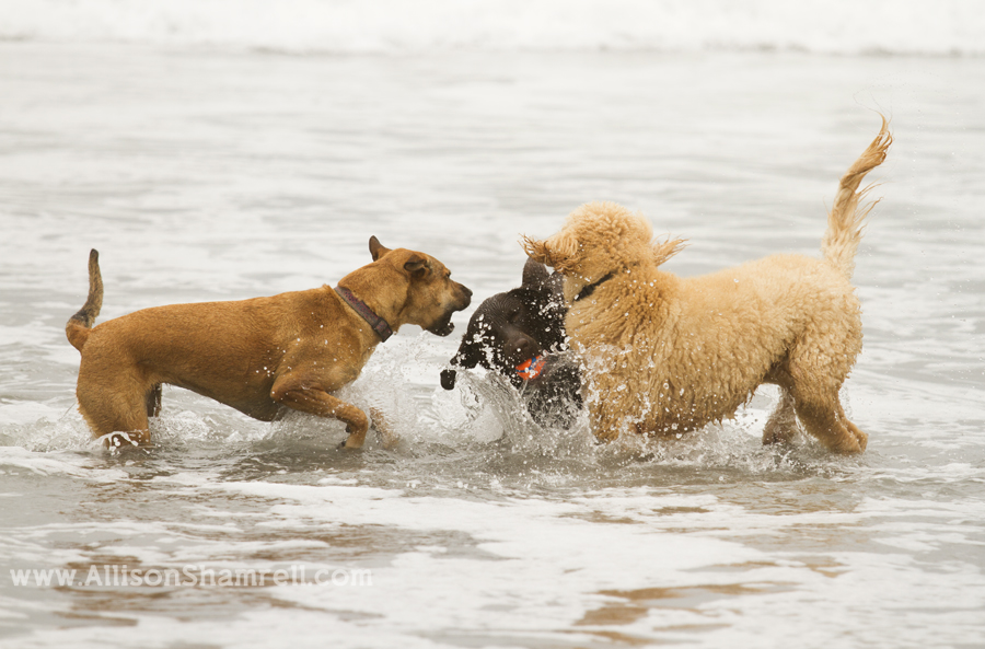 dogs playing water beach