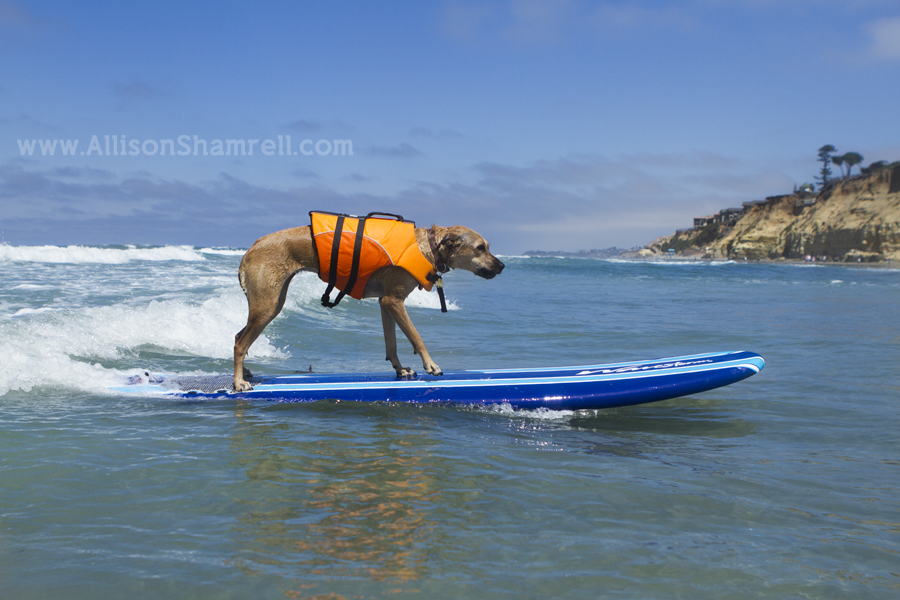 del mar dog surfing