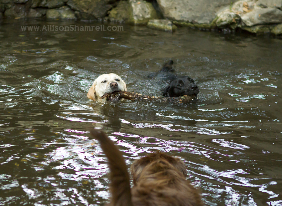 dog photography swimming with stick