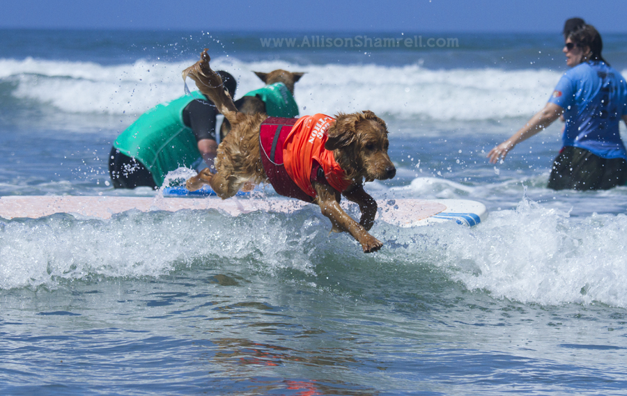 san diego dog surfing