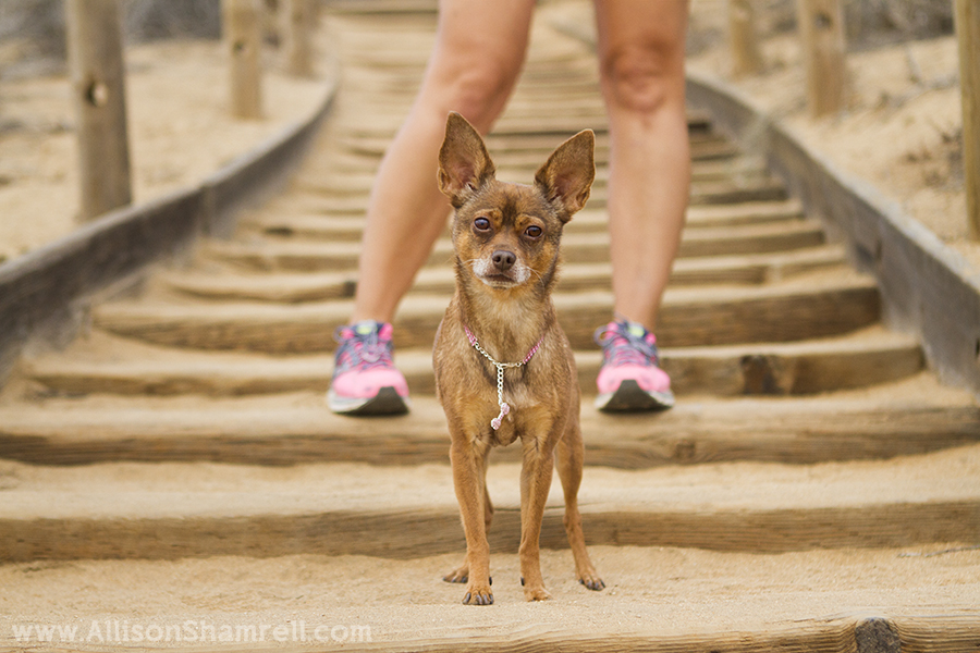 chihuahua min pin mix