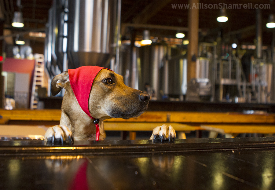 howl-o-ween at mission brewery