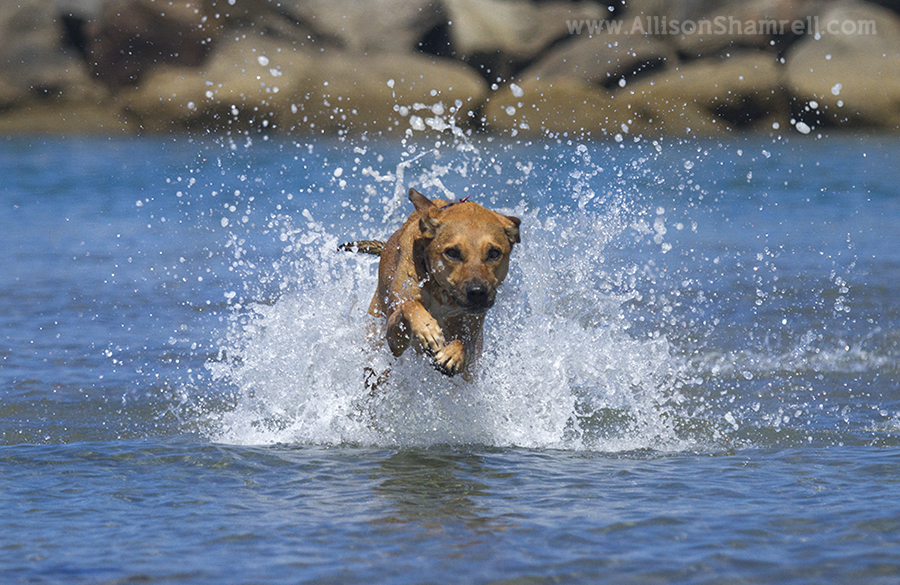 intense water dog photo