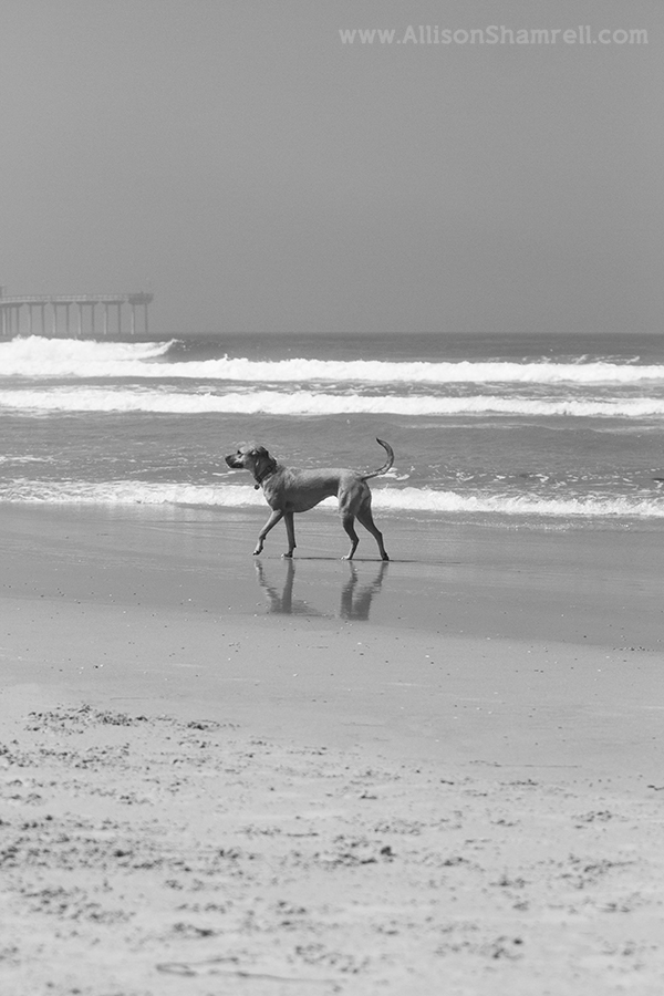 black & white dog beach