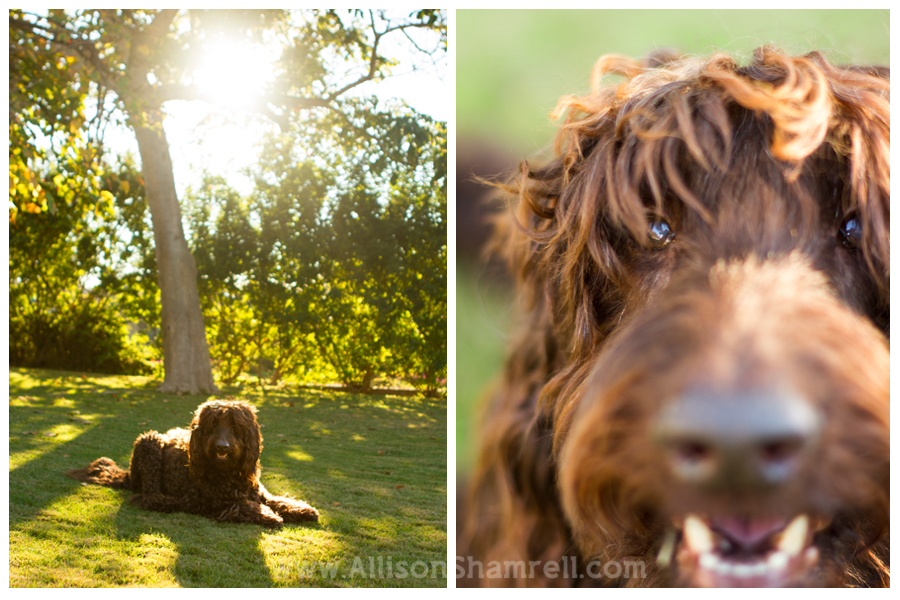 labradoodle del mar pet photography