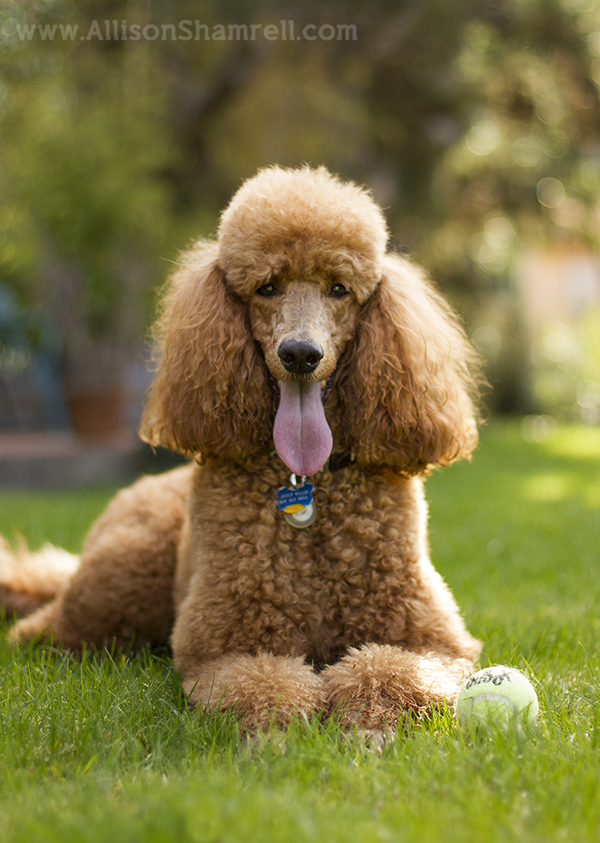 standard poodle in solana beach