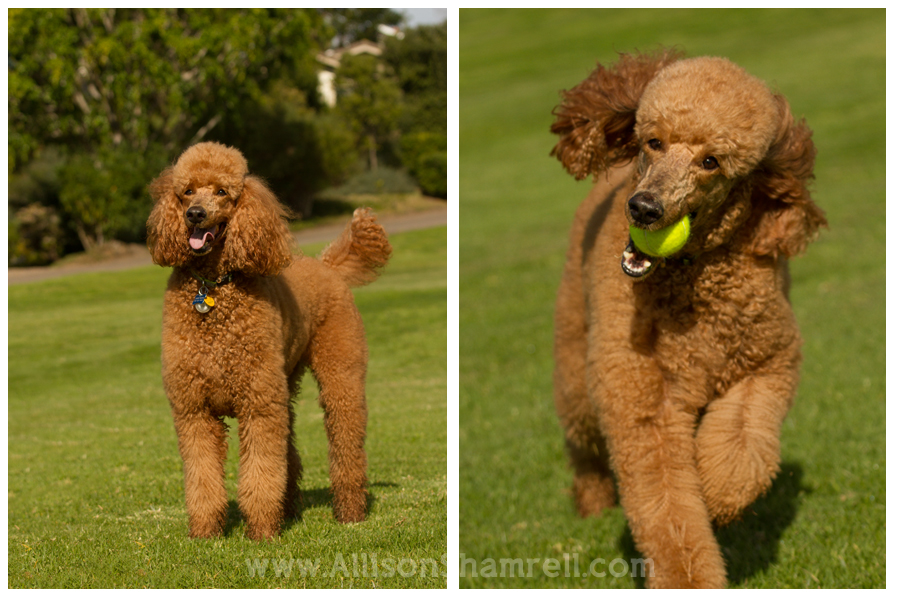 standard poodle photography