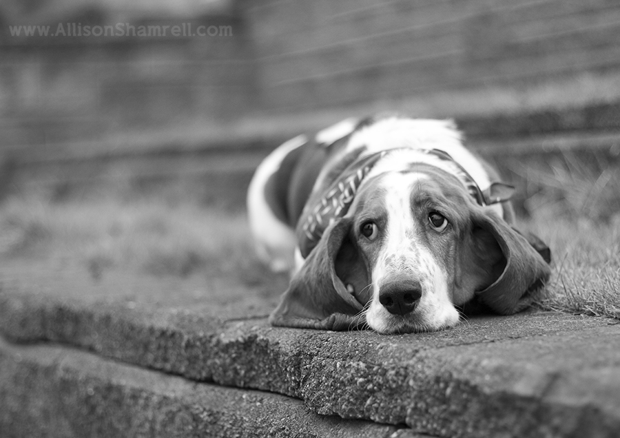 basset_hound_black_white