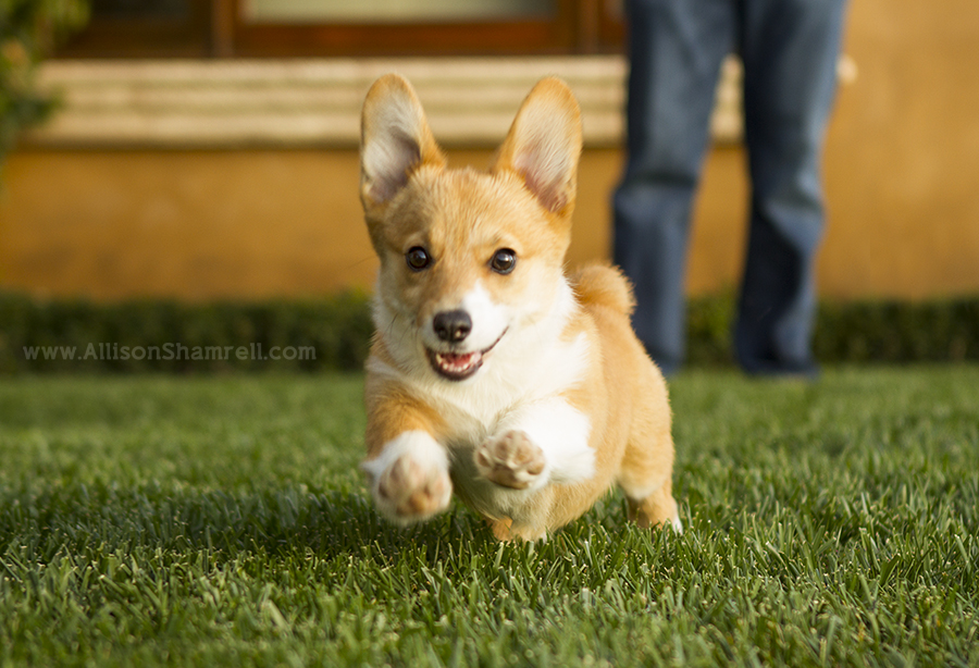 cute corgi photography