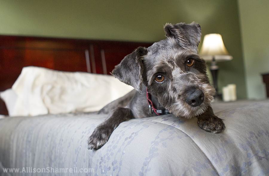 schnauzer mix on bed