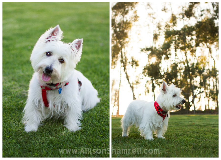 westie san diego photos