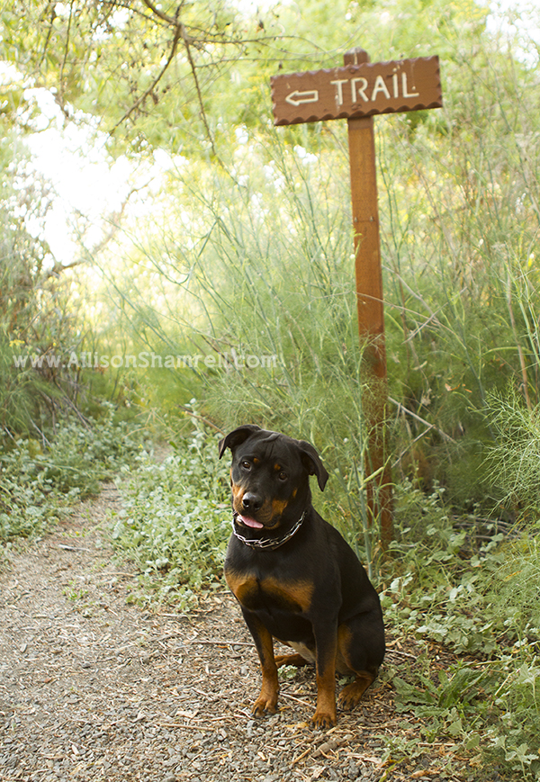 oceanside rottweiler photo