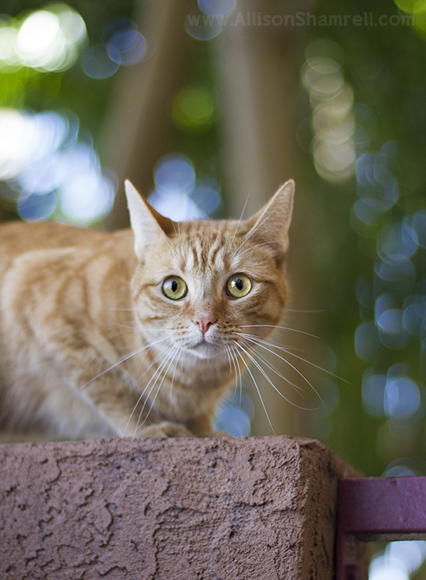 san diego tabby cat photo