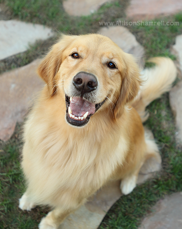 san diego golden retriever dog