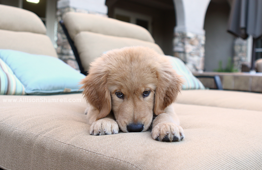 san diego golden retriever puppy