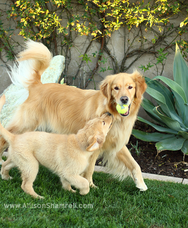 san diego golden retrievers