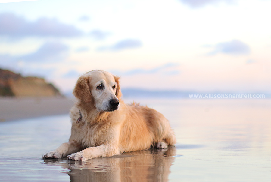 best golden retriever san diego