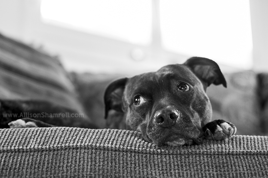 black and white pit bull