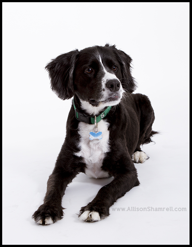 border collie san diego