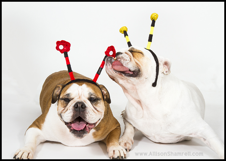 bulldogs in costumes